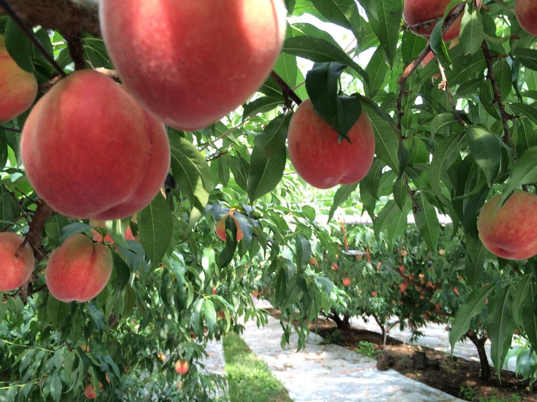 希少品種のイチゴやりんごのオーナーに!<br />農産物ネット取引の進化