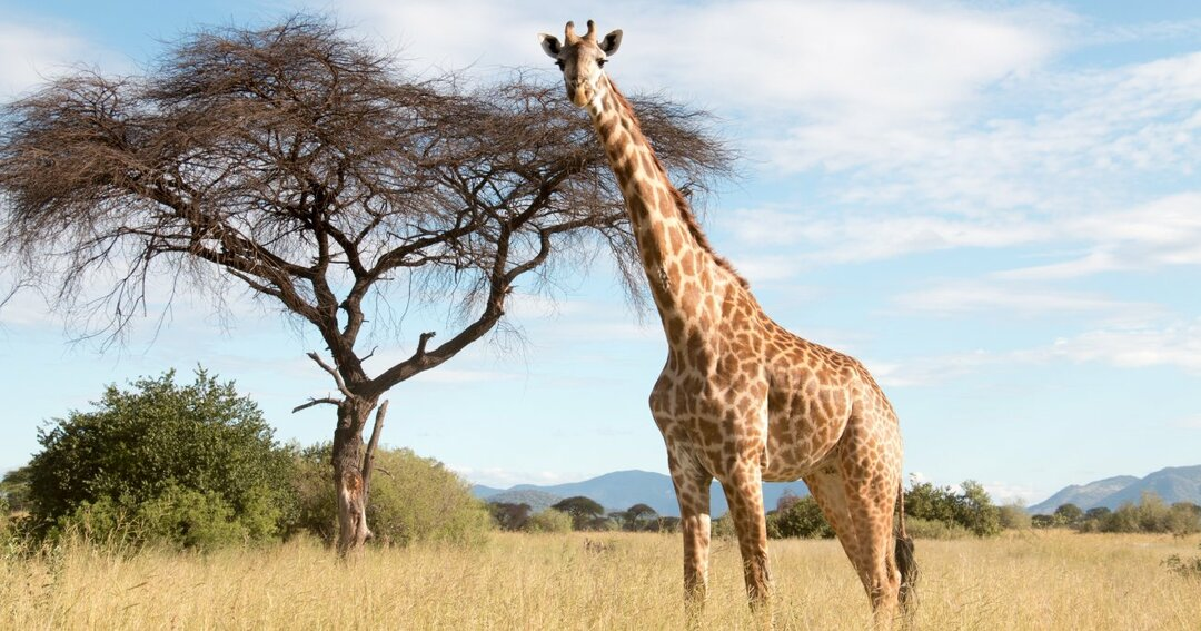 意外と知らない…キリンの首はなぜ長いのか?