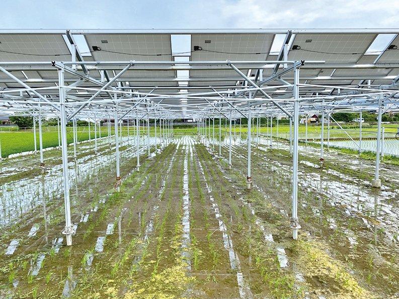 農薬は使わずチェーン除草。稲は強くて抜けないが草は抜ける