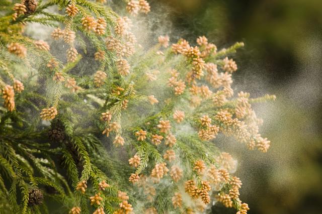 花粉症治療に根治も期待できる新薬登場 <br />12月に治療開始で「飛散量が倍」の来春に効果も