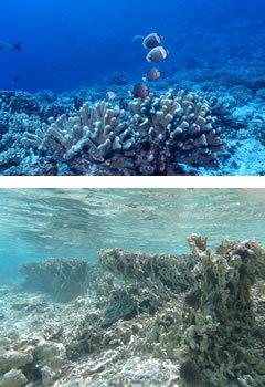 """海に""""花畑""""を蘇えらせる<br />三菱商事の「サンゴ礁保全プロジェクト」"""