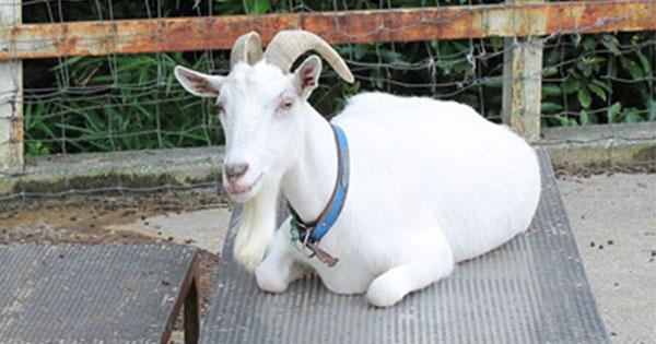 """""""働くヤギ""""が都市部でも増加中!除草だけじゃないヤギが切り開く「未開拓ビジネス」"""