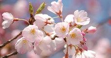 日本の桜は2度死んだ。迫る3度目の危機!