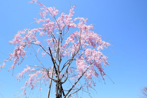 「花の駅」の桜