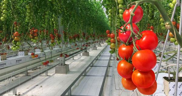 年収7000万円を捨てた元金融マンがトマト作りでアジアを魅了するまで
