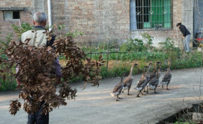 家畜のアヒルの群れを操る男性