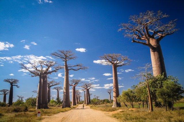 樹齢1000年を超すバオバブ並木でおなじみのマダガスカル