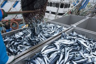 """中国のサンマ""""爆漁""""は日本にとって脅威か杞憂か?"""