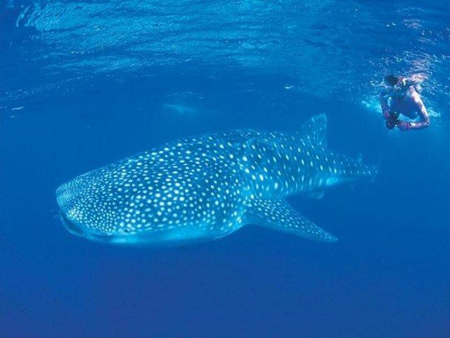 オーストラリア,ジンベイザメ