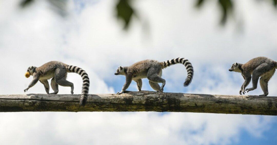 マダガスカルに生息するワオキツネザル