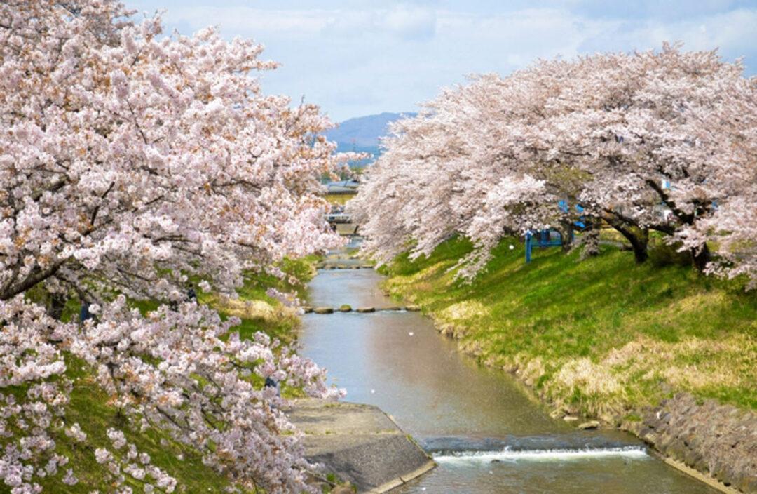郡山市の藤田川ふれあい桜