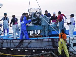 日本一の養殖ブリ産地、赤潮危機からの大逆転物語