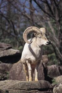 野生羊の一種 ドールシープ