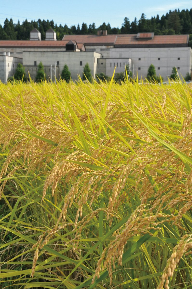 稲刈り前の9月の田んぼ