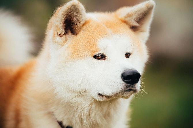 ハチ公のエピソードで知られ、忠犬として名高い秋田犬