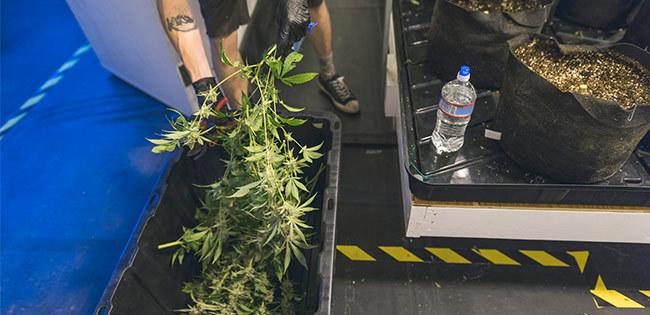 栽培される大麻
