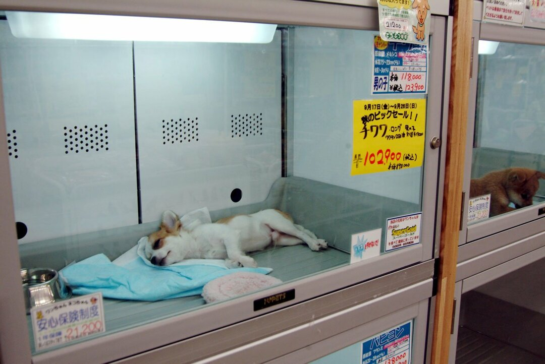 ペットショップで売られている犬
