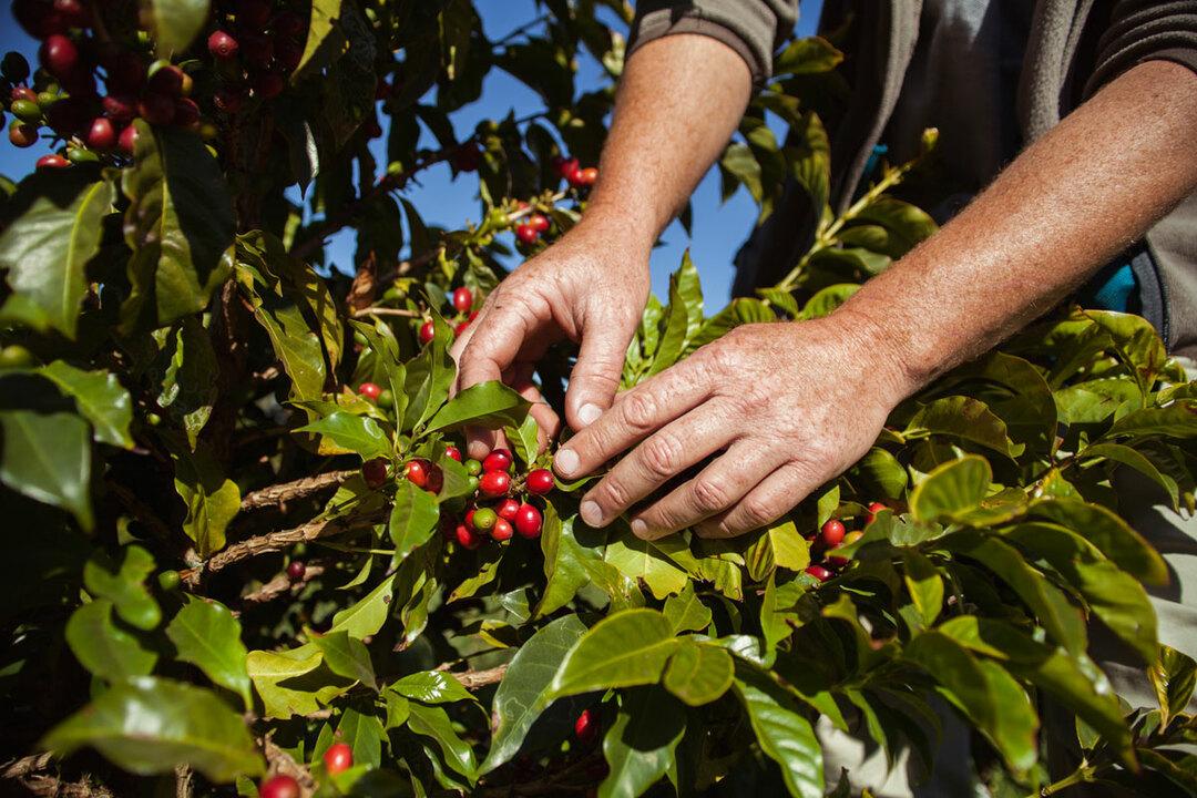 伝説のコーヒー豆が150g1万2000円でも毎年完売する理由